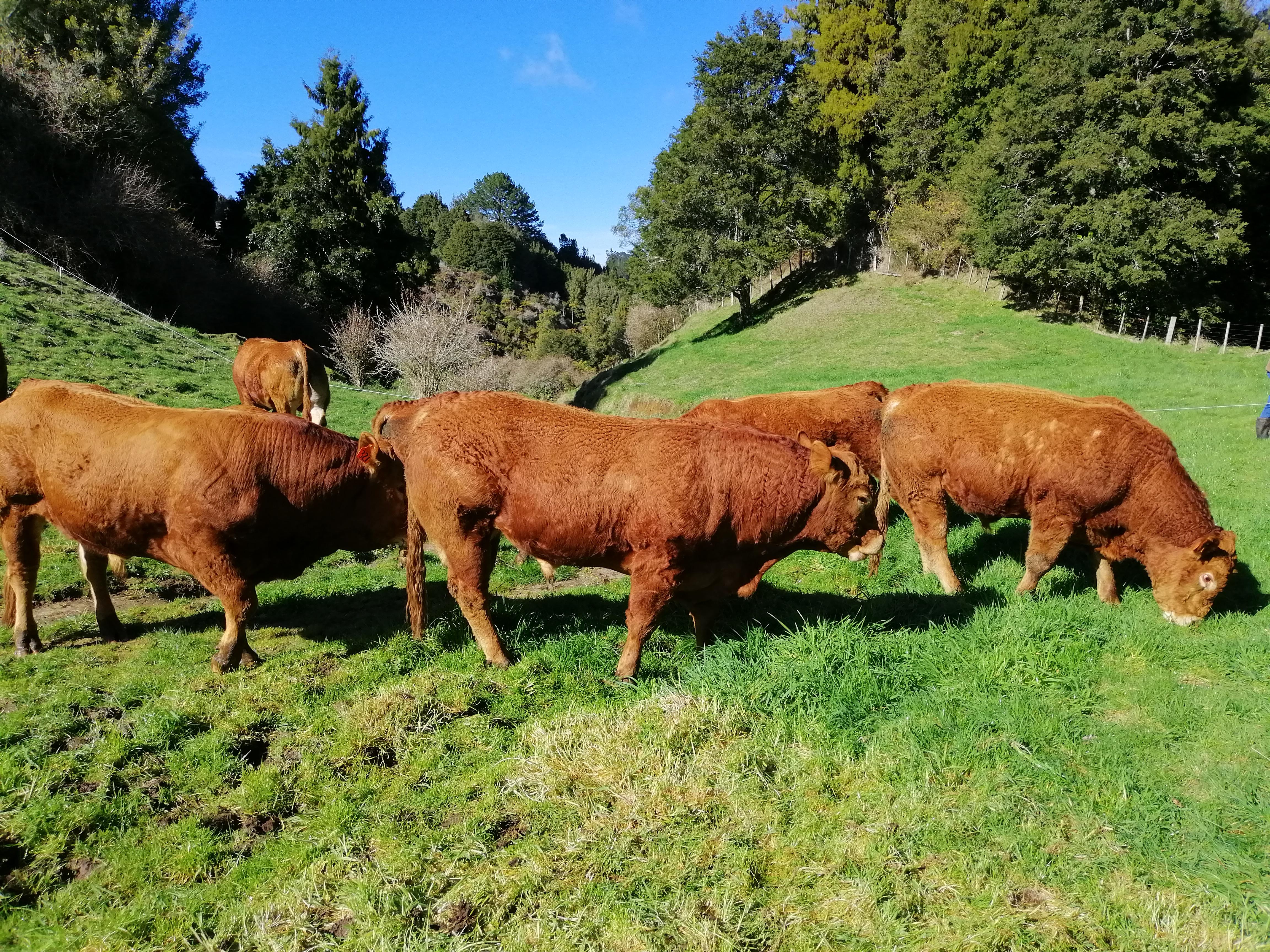 Secret Falls – 2yo Bulls for sale