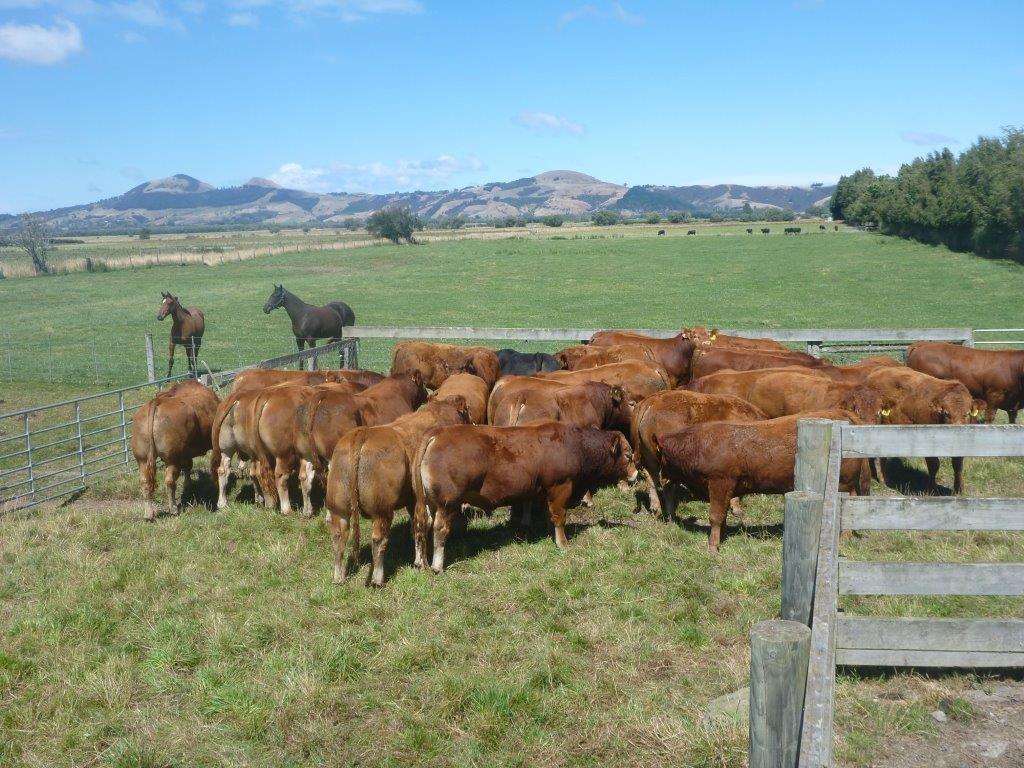Glencairn Limousin Genetics on Offer